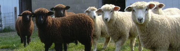 banner-sheep.jpg