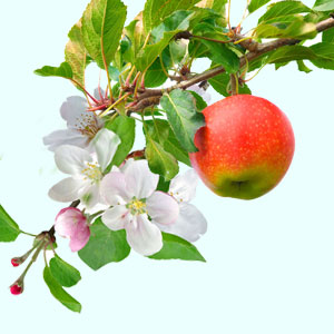 apple-blossom.png