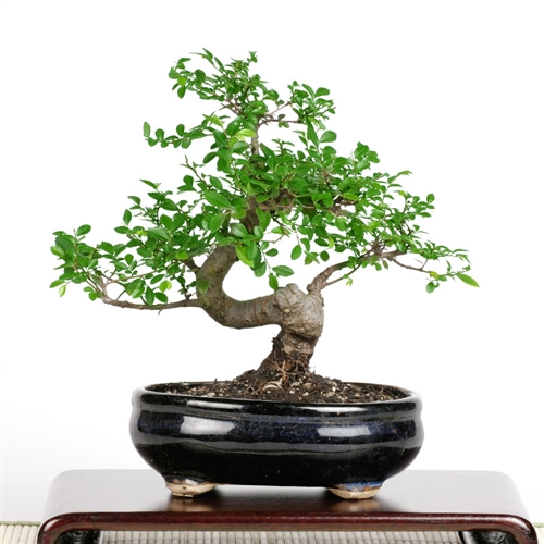 bonsai-tree.jpg