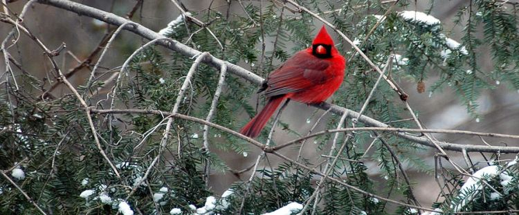 The Meaning of a Cardinal Visiting Your Yard - The Crabby Nook