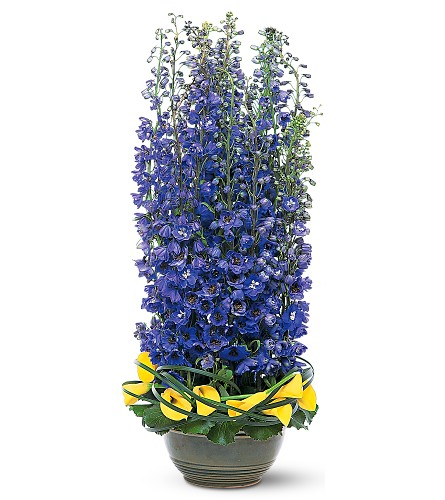 delphinium blue flowers for delivery pasadena texas 1