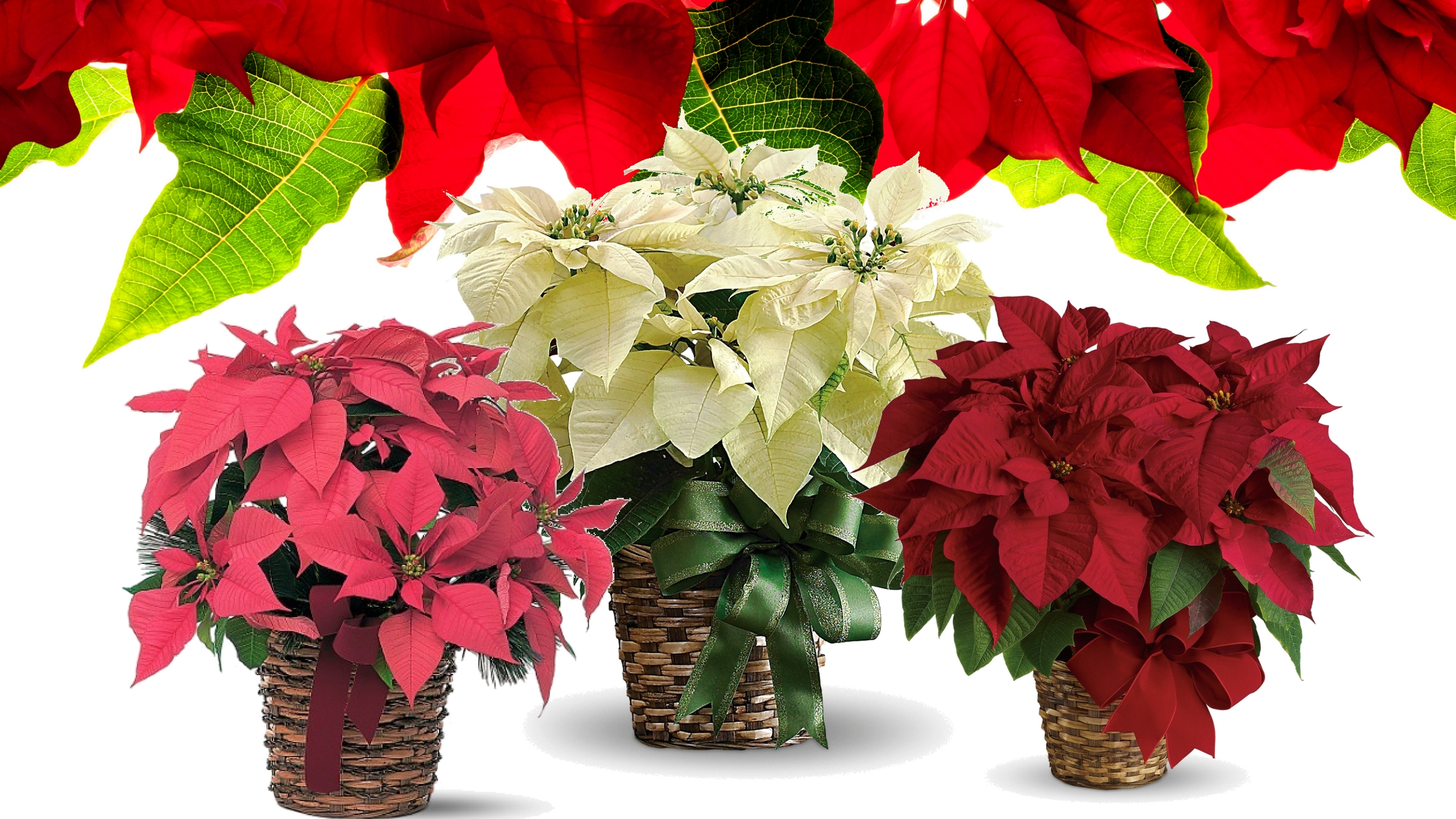 holiday christmas poinsettia plants for delivery 1