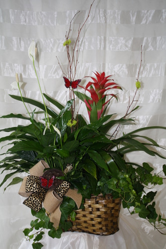 Tropical Plant Bromeliad European Garden by Enchanted Florist Pasadena TX. A unique tropical plant that is easy to care for in a basket with other green plants decorated beautifully. RM409