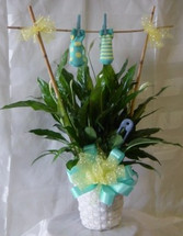 New Baby Boy Gift Plant with Clothes Line of baby socks. An exclusive plant bouquet by Enchanted Florist Pasadena TX. Same day delivery to all Houston area hospitals including Womens Hospital of Texas. RM402