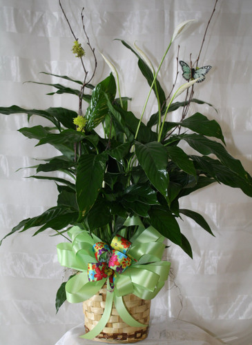 Simply Elegant Spathiphyllium Peace Lily Small Plant, is also known as the peace lily or closet plant. This dark leafy plant with its delicate white blossoms makes a simply elegant gift. There's nothing small about the sentiment delivered along with this pretty plant. Available in other sizes. Includes birch branch, butterfly, and ribbon treatment. Colors will vary. RM415