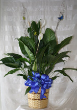 Medium Simply Elegant Spathiphyllium Plant from Enchanted Florist Pasadena TX is also know as a closet plant or peace lily. A perfect medium sized plant decorated with birch branches and a matching butterfly. RM416
