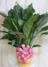 Simply Elegant Spathiphyllium Closet Plant Large by Enchanted Florist Pasadena TX, is also known as the closet plant or peace lily. This dark leafy plant with its delicate white blossoms makes a simply elegant gift. Low-maintenance and high quality. Available in other sizes. Includes birch branch, butterfly, and ribbon treatment.  SKU RM417
