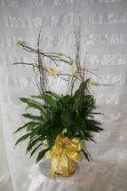 Peace Lily Green Plant with Birch Armature by Enchanted Florist Pasadena TX - Order green plants online and send this beautiful potted plant complete with birch branches and pink butterfly. We have them in stock and can be for same day delivery in Houston TX and surrounding areas. RM422