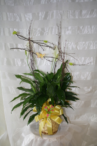 Peace Lily Green Closet Plant with Birch Armature from Enchanted Florist. This easy-to-care for plant with its shiny dark green leaves and white flowers is the perfect complement to any home or office, and it is dressed up with a birch wood armature for added height and attraction. And that special someone will be perfectly complimented, too.  SKU RM422