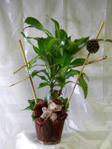 Dracaena Corn Plant with Bamboo Trellis by Enchanted Florist Pasadena TX - for more information on how to care for your dracaena plant visit our blog. Green plants delivered same day in Houston and surrounding areas. RM404