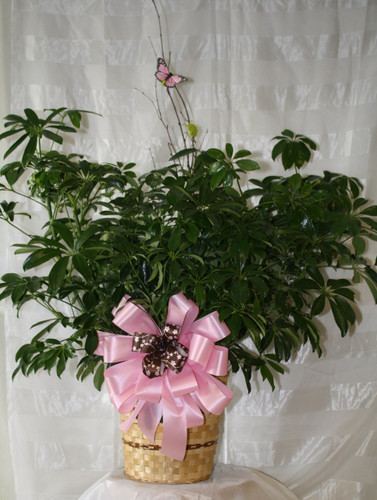 Sensational Schefflera Green Plant Medium Hawaiian. Known as the umbrella plant or arbicola due to its lovely arching leafy branches, it makes an amazing gift. It can last for years and lend its graceful beauty to any home or office. Includes birch branch and  beautiful butterfly.  SKU RM419