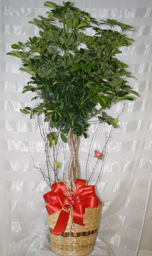 Sensational Schefflera Braided Trunk Tree Green Plant by Enchanted Florist Pasadena TX - large green braided trunk Hawaiian schefflera tree for same day delivery in Houston TX and surrounding areas. Decorated with branches and a beautiful butterfly. RM429
