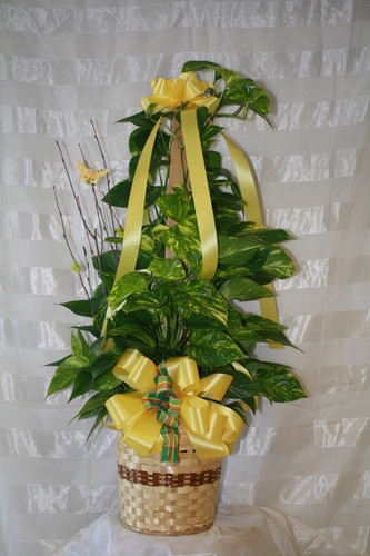 Large Totem Pole Ivy Green Plant from Enchanted Florist Pasadena TX. This tall green pole ivy is an easy to care for potted plant decorated in yellows and completed with a bit of birch branch and matching butterfly. RM427