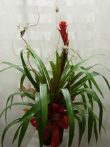 Tropical Plant Bromeliad by Enchanted Florist Pasadena TX - tropical bromeliad plant, get plants delivered in Houston, TX, Deer Park, TX, Clear Lake, TX and surrounding areas. RM408
