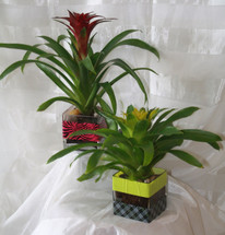Cubed Bromeliad Tropical Plants in a clear glass cube by Enchanted Florist Pasadena TX.  Tropical plants delivered same day delivery in a contemporary clear glass cube. RM426