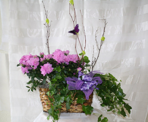 Blooming Azalea Double Basket Garden by Enchanted Florist Pasadena TX - Potted plants and blooming gardens with same day delivery. This garden contains a flowering azalea and green ivy. RM424