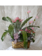 Pink Cosmo Tropical Bromeliad Basket by Enchanted Florist Pasadena TX - happy birthday flowers and happy birthday plant delivery. Daily delivery to homes and offices in Houston TX and surrounding areas. RM438