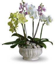 Exquisite Orchid Exotic Garden by Enchanted Florist Pasadena TX. Six  exotic orchid plants arranged in a beautiful container. Including 2 white phalaenopsis orchid plants, 2 green orchid plants, and 2 purple orchid plants. Next day delivery available in Houston TX. Orchid plants make a unique and long lasting gift. RM437