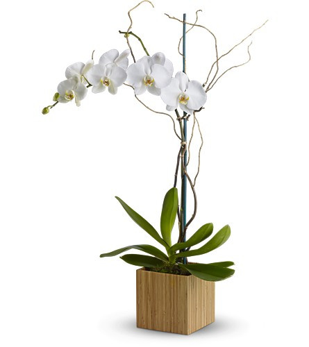 Shangri La White Orchid Phalaenopsis Plant by Enchanted Florist Pasadena TX. A white orchid plant arrives in a real bamboo cube container with branches intertwined. RM446