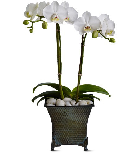 Divine Duet Orchid Phalaenopsis Plant by Enchanted Florist Pasadena TX. This lovely white orchid phalaenopsis plant will arrive hand delivered to their door. Orchid flower delivery by a Deer Park florist to Deer Park TX and surrounding areas RM448
