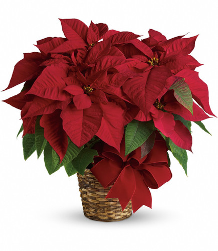 "The red poinsettia has been a holiday favorite for generations…and for a very good reason. It practically screams ""Merry Christmas!""  A red poinsettia is delivered in a natural basket that is wrapped with a beautiful red velvet ribbon. A timeless classic! Approximately 23 1/2"" W x 22 1/2"" H"