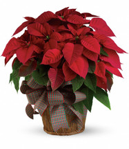 "You'll send a really big Christmas wish when you have this wonderfully large, bright red poinsettia delivered to your family or friends. Poinsettias are a natural gift for the holidays, and this is sure to make a grand entrance!  A large red poinsettia is delivered in a 8"" natural container that's all wrapped up with a beautiful red taffeta ribbon. It's a beautifully traditional gift - with a sizable difference! Approximately 24"" W x 25"" H"