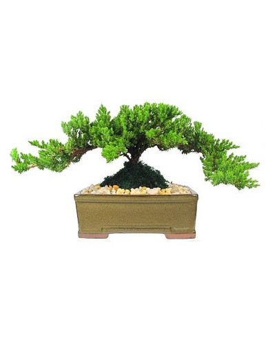 "Japanese Juniper Bonsai Tree from Enchanted Florist.  This is a medium 5-7 year old Japanese Juniper Bonsai Tree. Planted in an 8"" ceramic container. Bonsai Tree averages 10-12 inches tall with 10-14 inch spread. RM710  Buy Bonsai Tree in Houston Pasadena TX area."