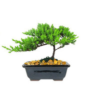 "Small Japanese Juniper Bonsai Tree from Enchanted Florist.  This is a small 4-5 year old Japanese Juniper Bonsai Tree. Planted in an 6"" ceramic container. Bonsai Tree averages 8-10 inches tall with 8-10 inch spread. The container will vary from the picture. RM711  Buy Bonsai Trees in Houston for delivery. Bonsai tree delivery by real flower shops in Pasadena TX"