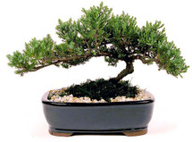 "Japanese Juniper Bonsai Tree from Enchanted Florist.  This is a medium 7-9 year old Japanese Juniper Bonsai Tree. Planted in an 10"" ceramic container. Bonsai Tree averages 12-14 inches tall with 18-22 inch spread. Your best place bonsai Houston dealer. RM718"
