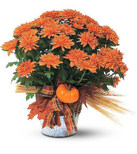Fall Blooming Plant by Enchanted Florist. A beautiful blooming plant, with its warm fall colors, will be remembered long after the season is gone. Perfect for fall decorating, indoors or out. Send to a family member to celebrate a birthday, a friend for a get well, or to yourself to decorate your home or office for the fall season. SKU: RM452