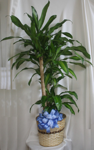 """Large Dracaena Mass Cane Corn Plant Tree from Enchanted Florist. A corn plant, or mass cane is beautiful and easy to care for. This slow-growing beauty is one of the most effective plants at removing room toxins. This plant is great for the indoors as it tolerates a wide range of conditions.  Approximately 60""""H x 60""""W.   SKU RM405"""