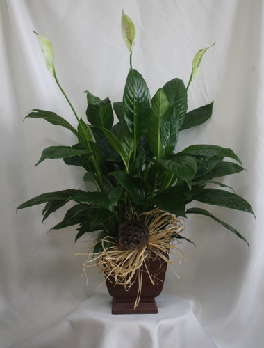 """Noble One Peace Lily Green House Plant from Enchanted Florist. The classic peace lily, or spathiphyllum plant has snowy white flowers that brings lasting serenity to any room. Pot size is a 6"""" pot. Plant size is approximately 32""""H x 22""""W.   SKU RM406"""