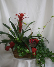 Double Basket Bromeliad and Ivy from Enchanted Florist. Your plant gift will arrive with a tropical bromeliad plant and english ivy in a wicker double basket decorated with bows and a butterfly. SKU RM442