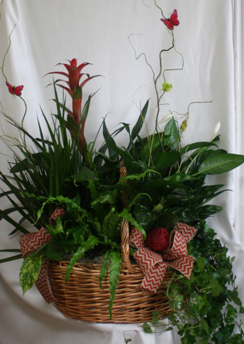 """Extra Large European Garden Basket with Bromeliad from Enchanted Florist. This beautiful basket includes 6 plants total, including a tropical bromeliad plant plus five other various green plants. Each one different and selected for their color and texture. Your basket will arrive decorated similar to shown in the picture with bows, branches, and butterflies. SKU RM455 Approximate size is 30""""W x 34""""H"""