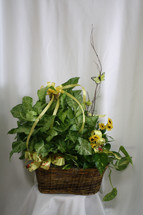 "Double Basket of Green House Plants from Enchanted Florist. Our beautiful and luscious double basket of two green house plants arrives in a wicker basket and is accented with various ribbons and branch with a butterfly flying about.  Approximately 26""H x 22""W SKU 456"