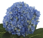 Hydrangea Shocking Blue x30