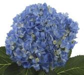 Hydrangea Shocking Blue x30