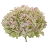 Hydrangea Antique Green x18