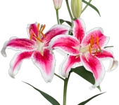 Lily Oriental Starfighter (Packed 10 Stems)