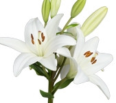 Lily Asiatic White (Packed 10 Stems)