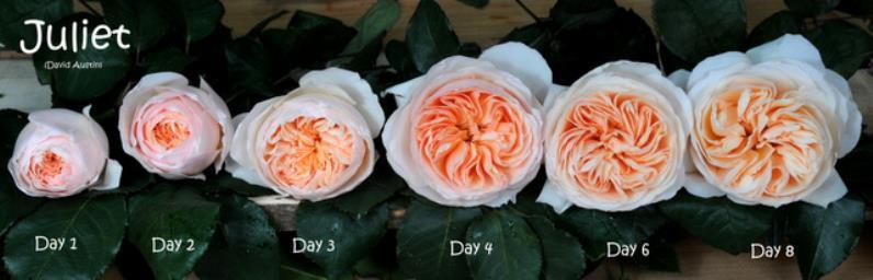 Juliet Peach Garden Roses; Image 2