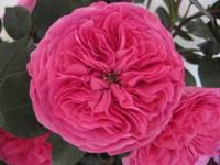 zGarden Rose Baronesse x36