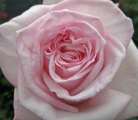 Pink Ohara Garden Rose