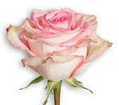 Pink - Esperance 50 stems