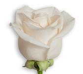 White - Vendella (Packed 100 stems)