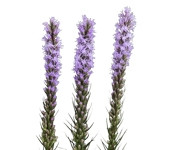 Liatris (Packed 10 stems)