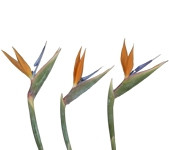 Birds of Paradise (Packed 30 Stems)