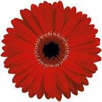Gerbera Red x50