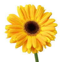 Gerbera Yellow x50