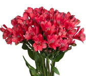 Alstromeria (80 Stems) Assorted Colors